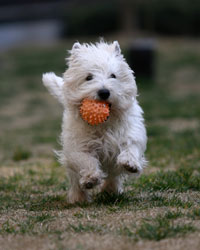 Small white dog running with orange ball